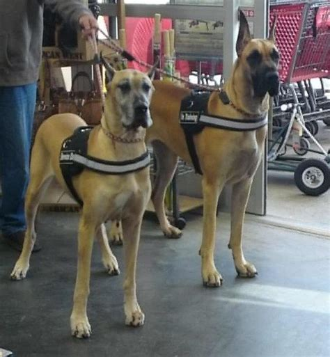 great dane service great dane horses n dogs breeds picture
