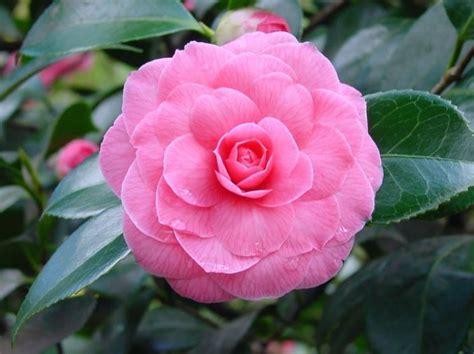 fiori significati fiori giapponesi significato significato fiori