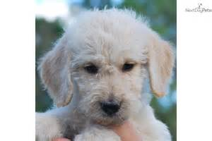 poodle cutest breeds images frompo