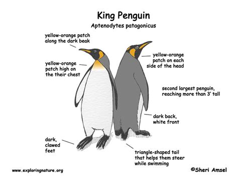 adelie penguin diagram penguin king