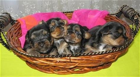 yorkie puppies 3 weeks whelping terrier puppies and