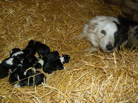 border collie puppies for sale border collie puppies for sale and border collie breeders