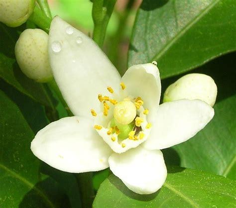 fiori d cucini amo colli euganei fior d arancio docg