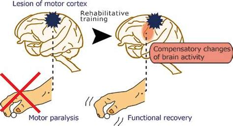 motor functions changes of brain activity that occur to take motor
