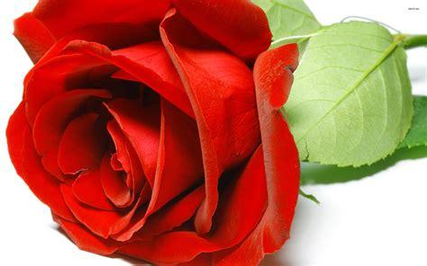 A15 Flowers roses wallpapers hd a15 hd desktop wallpapers 4k hd