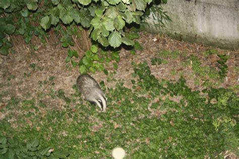 ratti in giardino meteopassione forum leggi argomento tasso l animale