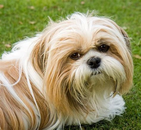 characteristics of shih tzu what are the characteristics of a shih tzu 4 steps