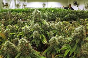 States With Legal Weed by Tribune Reports Medical Marijuana Comes To Illinois