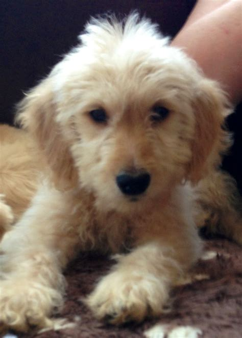 golden retriever x standard poodle x golden retriever pup lincoln lincolnshire pets4homes