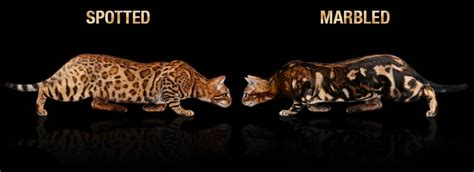 bengal cat colors bengal cat colors and patterns visual guide