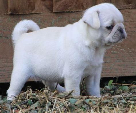 white pug puppies white pug puppy white pug puppies