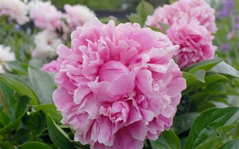 growing peonies gardening pinterest