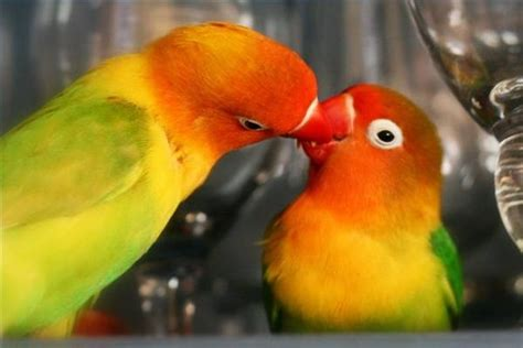 how to find out if lovebirds are mating