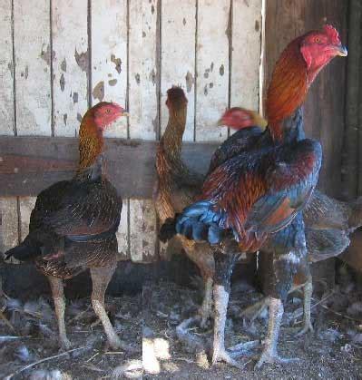 backyard poultry australia backyard poultry information centre australia