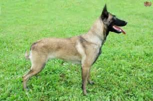 belgian sheepdog personality pin malinois temperament on pinterest