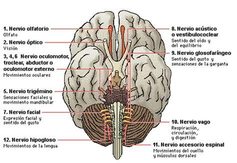 Resumen Y Sus Partes by Esquema Resumen Sistema Nervioso Hombre