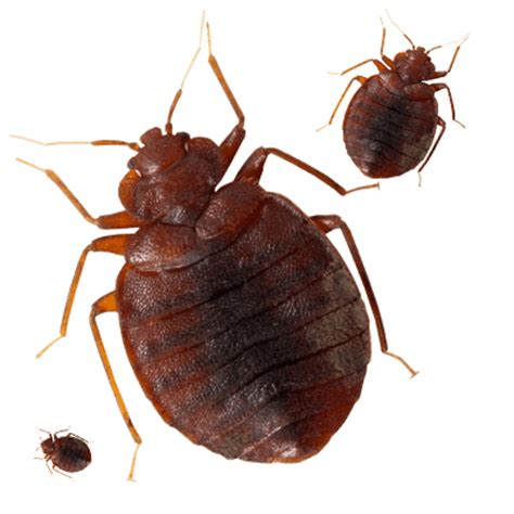 bed bugs nj bed bug exterminator nj 28 images bed bug exterminator