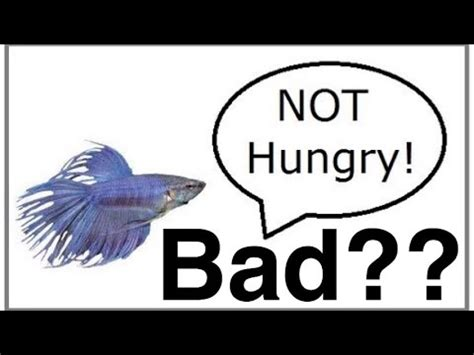 betta fish wont eat overfeeding kills  youtube