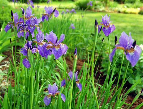 Iris Flower Garden Iris Plant