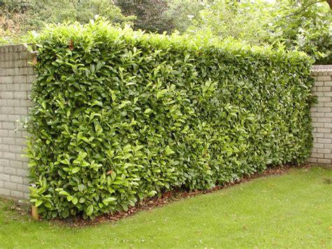 kirschlorbeer rotundifolia kaufen kirschlorbeer kaufen prunus rotundifolia zu g 252 nstigen