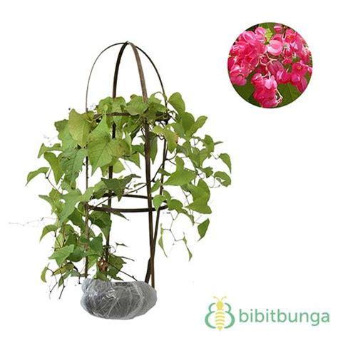 Jual Bibit Bunga Air Mata Pengantin tanaman air mata pengantin coral vine pink jual