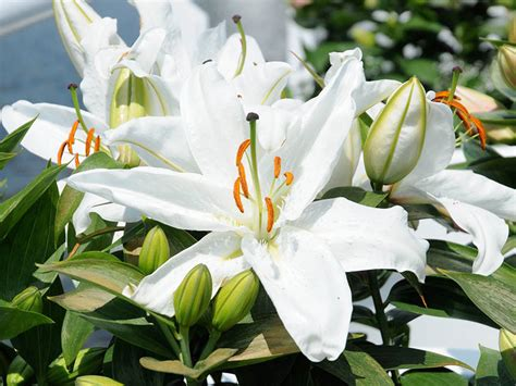 fiore giglio giglio lilium giardinaggio mobi
