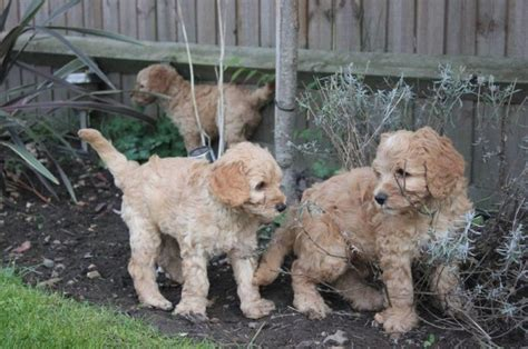 doodle signs camberley miniature australian labradoodle puppies camberley
