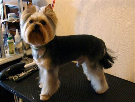 popular yorkie haircuts haircuts for yorkies pictures newhairstylesformen2014