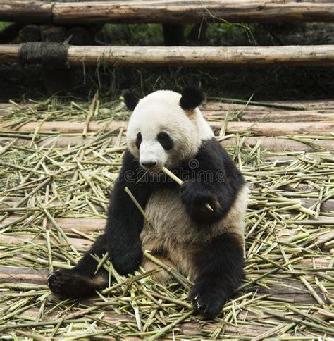 panda alimentazione alimentazione panda fotografia stock immagine di