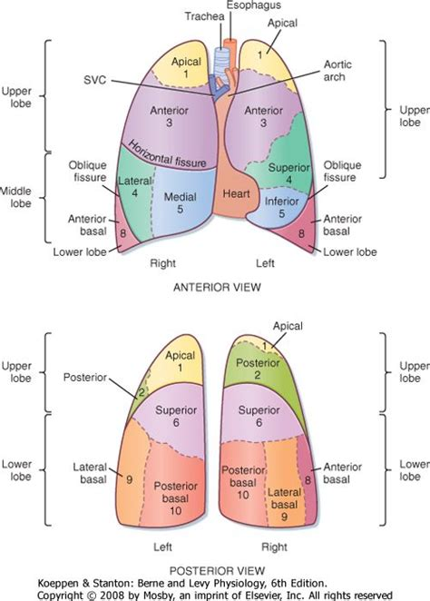 diagram of lung lobes image gallery lung lobes