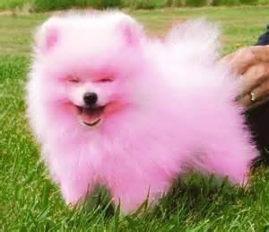 why is my pomeranian not fluffy 89 best images about pomeranian looks cuts on teddy pomeranian