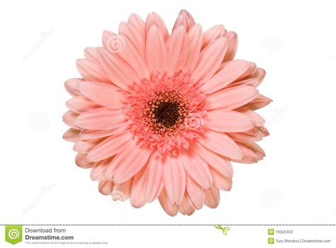 Gerbera Designs Xl Messenger by Pink Gerbera Flower Stock Image Image Of Floral Gerbera