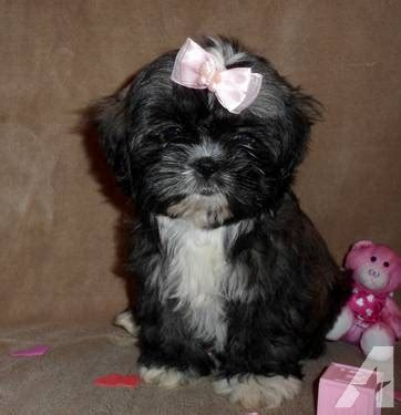 what size crate for shih tzu sold beautiful shih tzu imperial size chion bloodline for sale in lanton