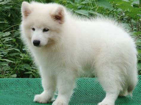 samoyed puppies for adoption samoyed puppies for sale for sale adoption from penang