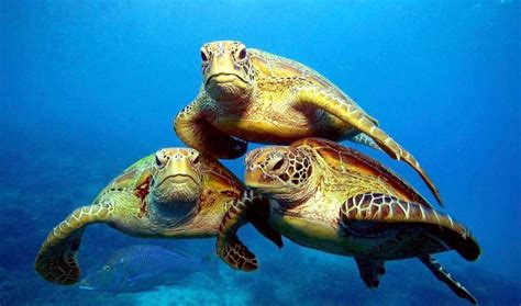green sea turtle ocean treasures memorial library