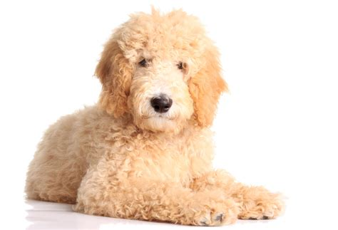 goldendoodle puppy how much to feed labradoodle owner s manual everything doodle