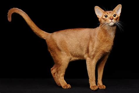 abyssinian cat cat breeds encyclopedia