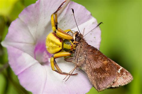 do spiders eat bed bugs crab spider eats skipper what s that bug