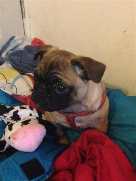 pugs for sale in swansea fawn pug for sale swansea swansea pets4homes
