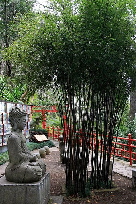bamboo trees for backyard 25 best ideas about phyllostachys nigra on pinterest