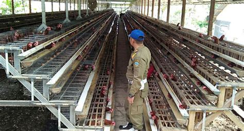 penyebab kandang ayam bau dan cara mengatasinya informasi ternak hewan