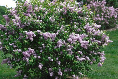 lilac flowering shrubs 18 lilac varieties hgtv