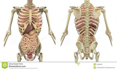 organi interni uomo scheletro torso con gli organi interni immagini stock