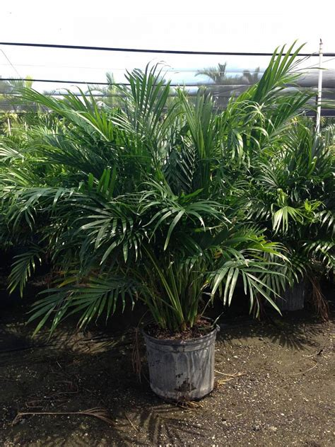 cateracterum palm runway growers inc plantant com
