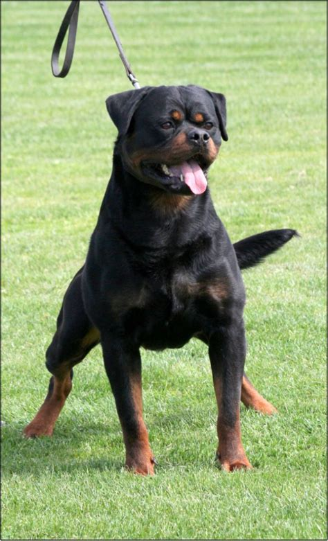 serbian rottweiler haus of lazic rottweilers