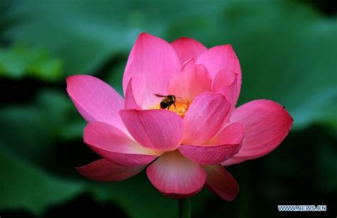 flowers in bloom lotus flowers bloom in huangshan city china s anhui