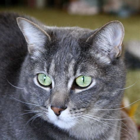 Coon Lights Gray Tabby Cat With Green Eyes Close Up Picture Free