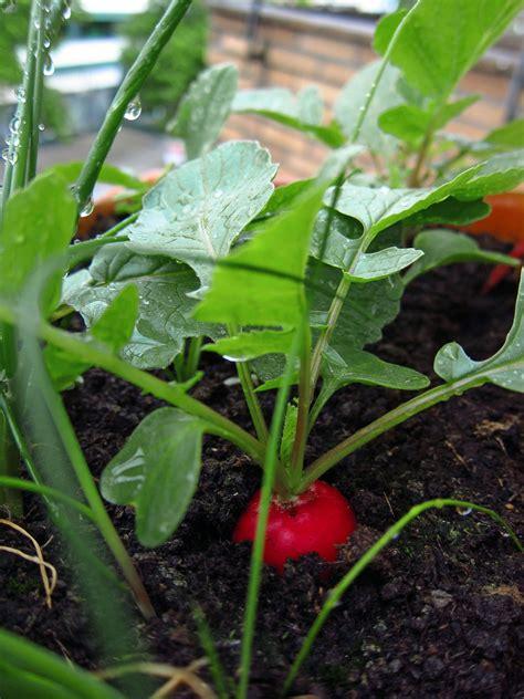 Radieschen Garten Pflanzen by Radieschen Das Einfachste Balkon Gem 252 Se Garten
