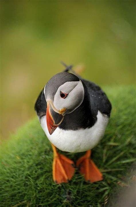 macareux puffin birds photos pinterest terre neuve