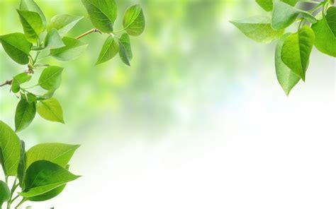wallpaper daun hijau kertas dinding cabang pohon daun hijau daun daun
